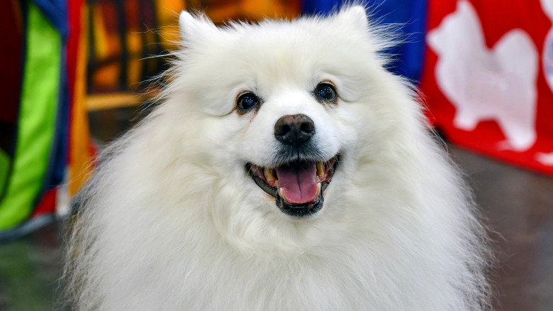 American Eskimo Dog in front of colorful banners