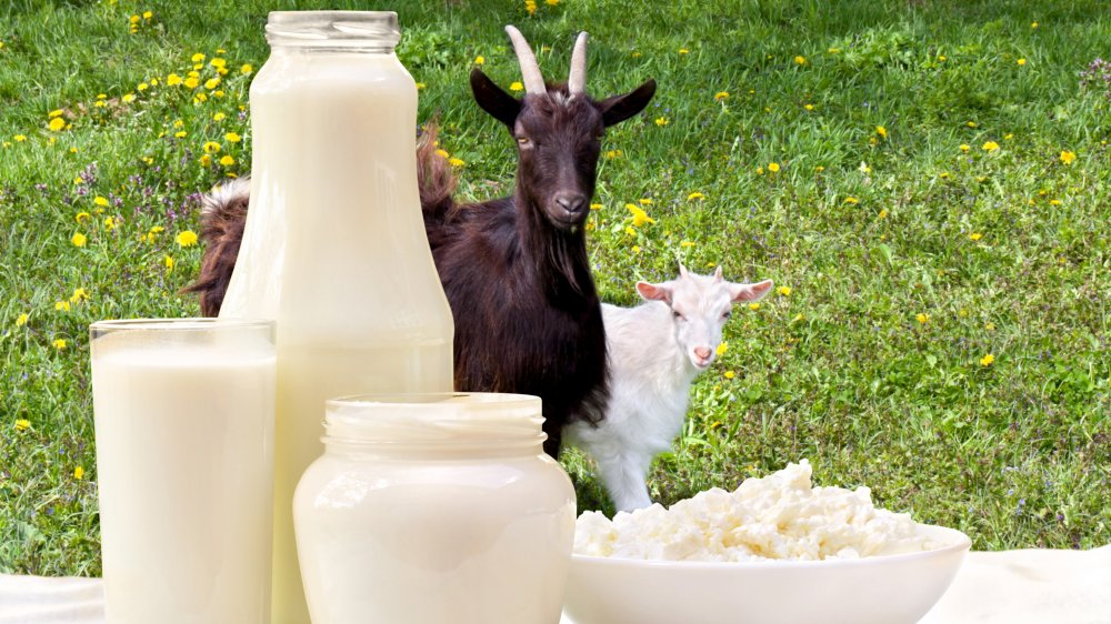 goats showing off their milk