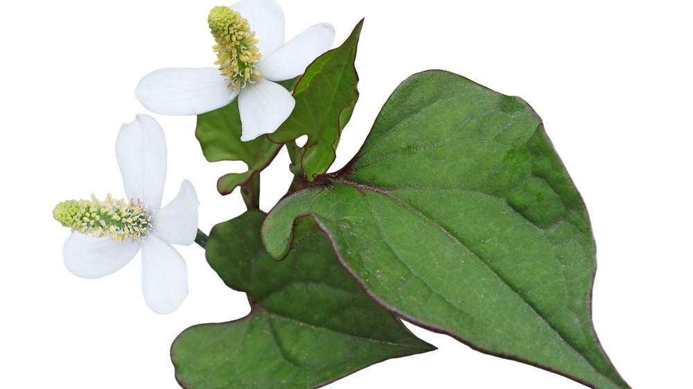 The Truth About Heartleaf